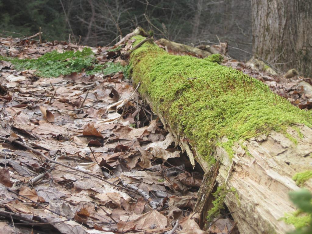 mossy log 1
