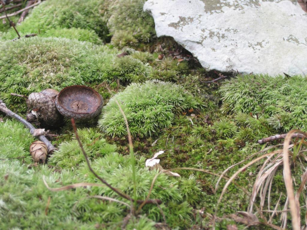 acorn in moss