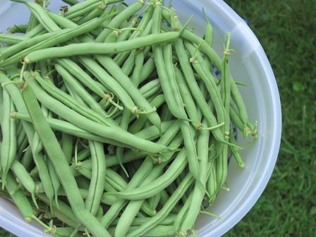 green beans 2013