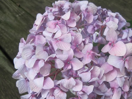 hydrangeas all
