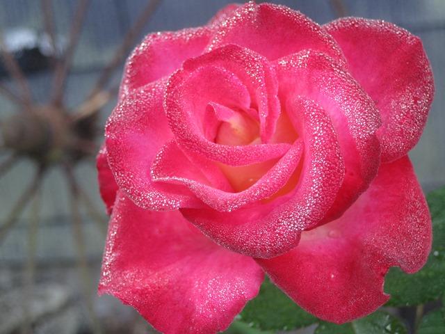 rose against wheel