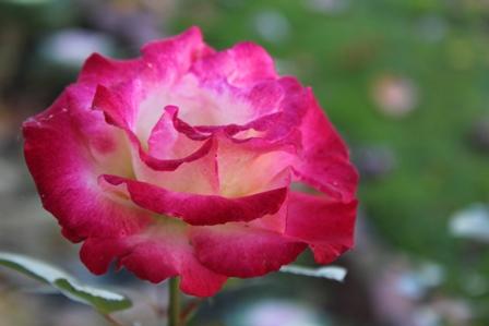 rose_4315