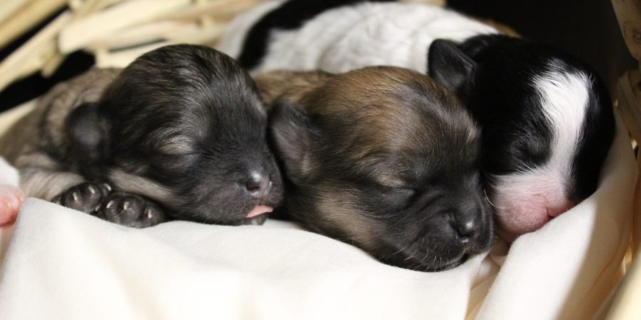 puppies sleeping in basket